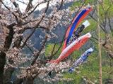 西滝沢水辺プラザの桜と鯉のぼり