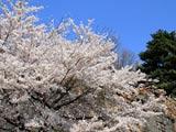 大震災の傷痕生々しい桜の小峰城石垣