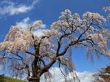 八十内のかもん桜