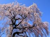 桜衣の常楽院桜