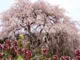 三春町・西の内枝垂れ桜