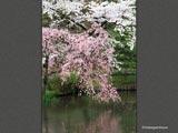千秋公園・池に桜