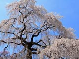 昌建寺の枝垂れ桜