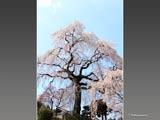 昌建寺の枝垂れ桜と鐘楼