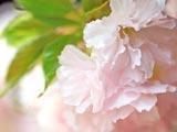 桜ささやく