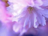 桜色は紫に