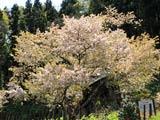葛岡のカスミ桜咲く