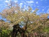 葛岡のカスミ桜とうろこ雲