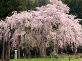 花衣のおしら様の枝垂れ桜