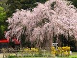 おしら様の枝垂れ桜と白山神社