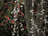 枝垂れ桜と椿