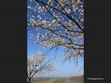 萌芽の雄物川と桜と鳥海山