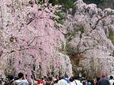 角館武家屋敷通りの枝垂れ桜と人の波