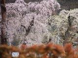 角館武家屋敷を彩る枝垂れ桜