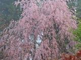 5月半ばの庭の枝垂れ桜