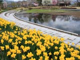 横沢公園を彩る水仙