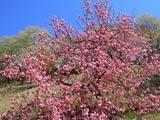 八重桜彩る八塩いこいの森