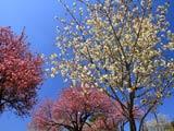 黄桜公園の桜華やか