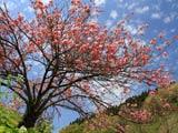 かすみ温泉の八重桜