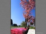 裏通りの八重桜と芝桜