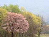 春霞の山桜