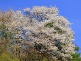 出羽丘陵で見つけた山桜