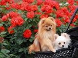 犬も薔薇にご機嫌