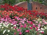 薔薇咲き競う