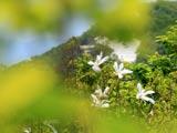 三ツ森山頂のタムシバ