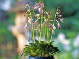 オトメギボウシ花盛り