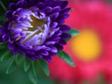 赤と青紫のアスター