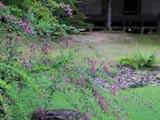 毛越寺・遣水の萩