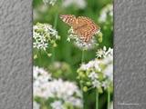ニラ畑に蝶