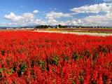 秋彩るサルビアの花