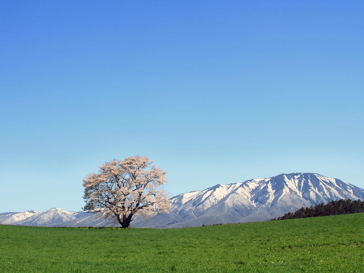 小岩井農場の一本桜-紺碧の空 ... : 2016年カレンダー 印刷用 : カレンダー
