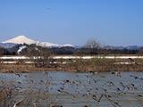 鴨群れる雄物川と鳥海山