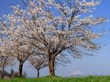 桜堤と鳥海山遠望