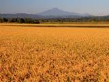 黄金の稲穂と鳥海山