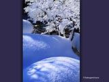 雪の庭とモミジ