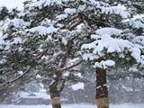 毛越寺雪の松