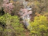 県境の春紅葉と山桜