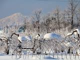 霧氷のりんご園と鳥海山