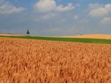 美瑛・麦畑と一本の木