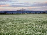 ソバ畑と鳥海山
