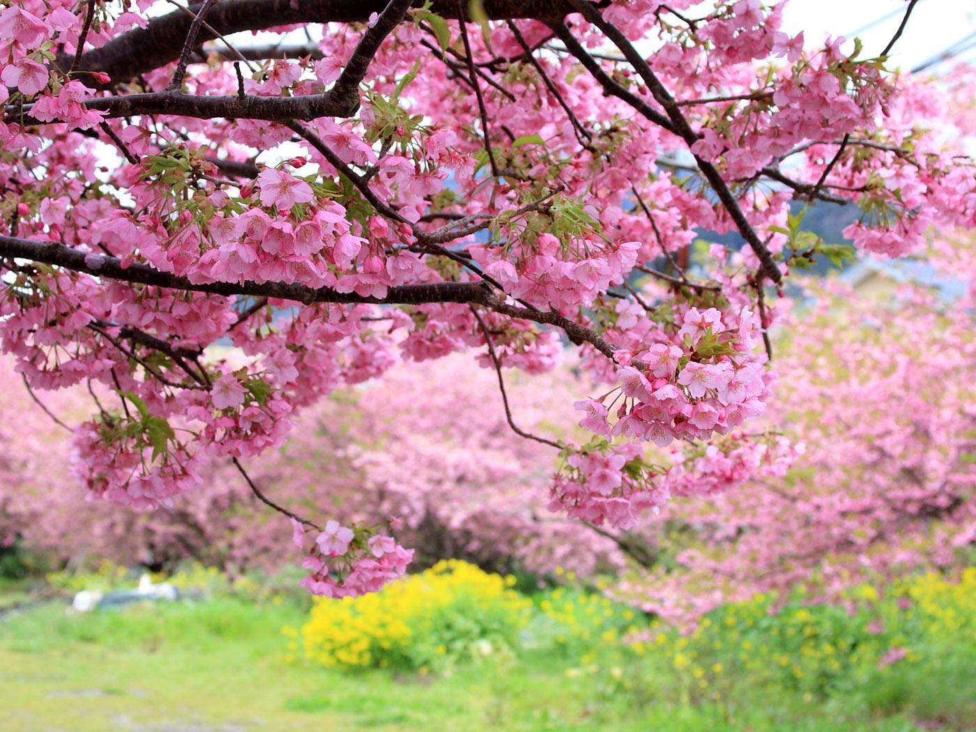 河津桜 かじやの桜 は名桜の風格あり 壁紙自然派 楽天ブログ